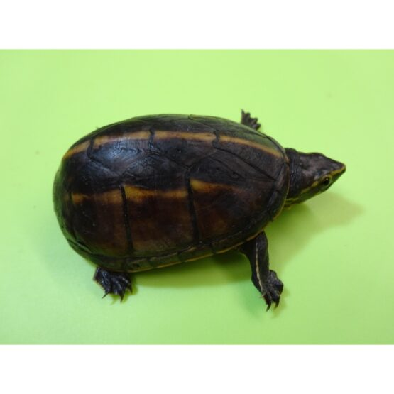 Three Stripe Mud Turtle adult