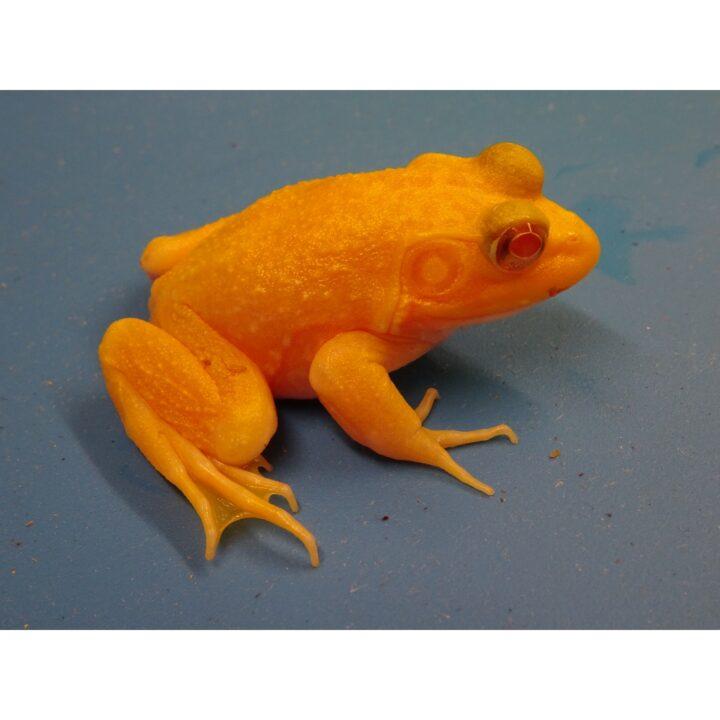 Albino Bull Frog