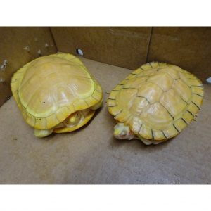 Albino Red Ear Slider pair