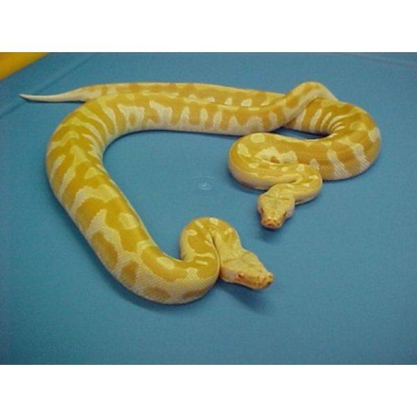Albino Blood Python T negative
