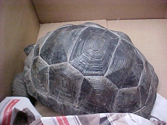 Aldabra Tortoise 8 inch