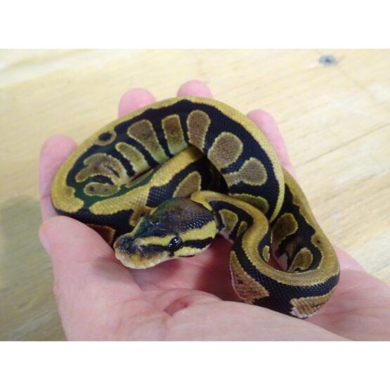 Ball Python feeding hatchling