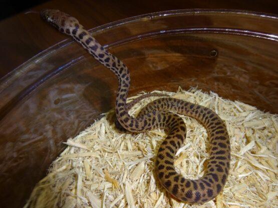Children's Python baby