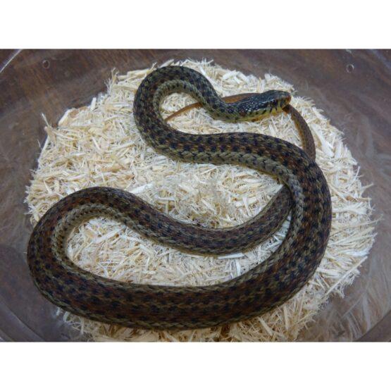 Snakes/Miscellaneous