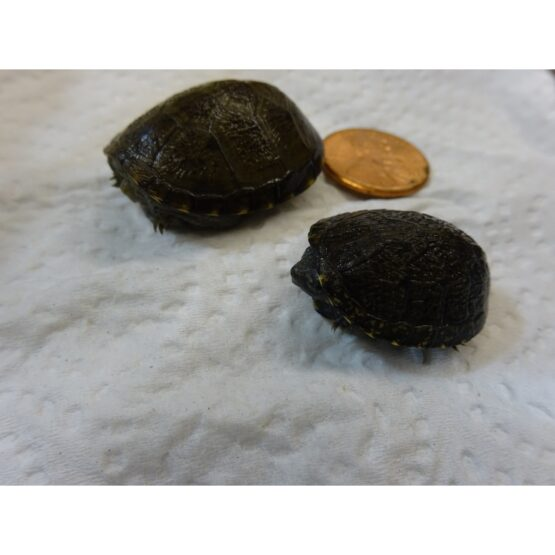 Eastern Mud Turtle baby