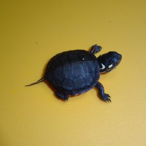 Eastern Painted Turtle baby
