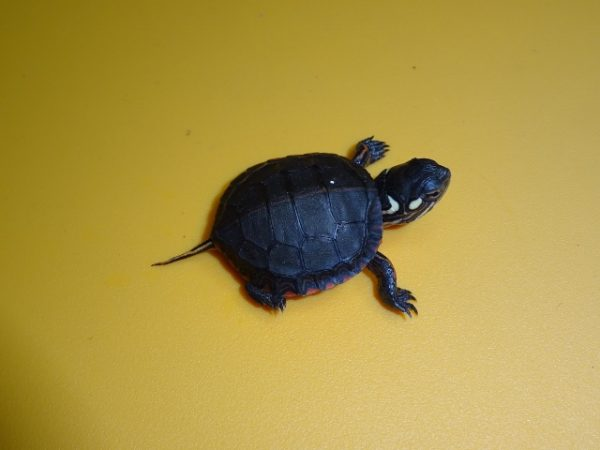 Eastern Painted Turtle baby
