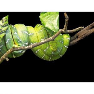 Emerald Tree Boa adult