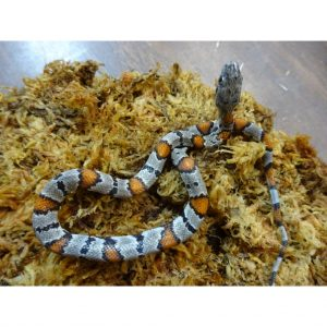 Gray Banded King Snake baby