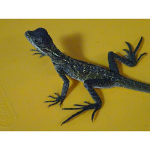 Green Sailfin Dragon