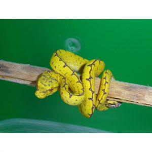 Green Tree Python Jayapura baby