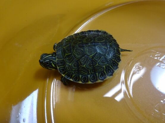 Heiroglyphic Cooter Turtle baby