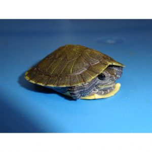 Hypermelanistic Hypo Red Ear Slider Turtle