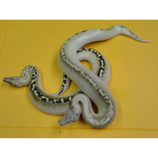 Ivory Blood Python pair