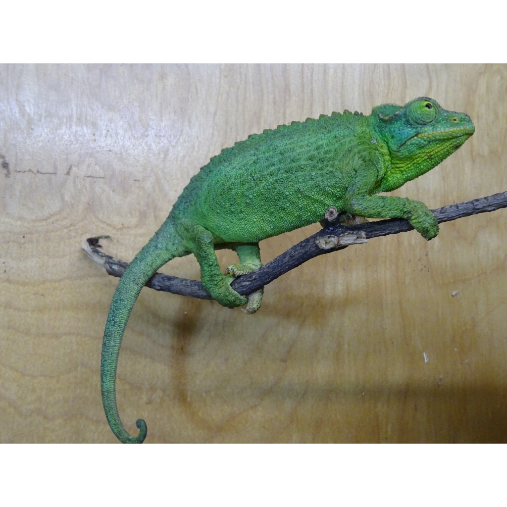 Jackson S Chameleon Females Strictly Reptiles