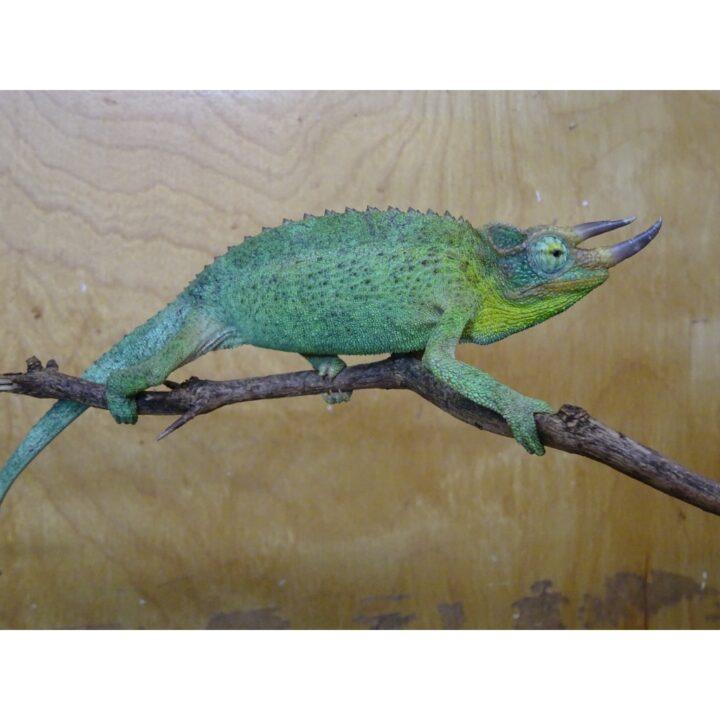 Jackson Chameleon male