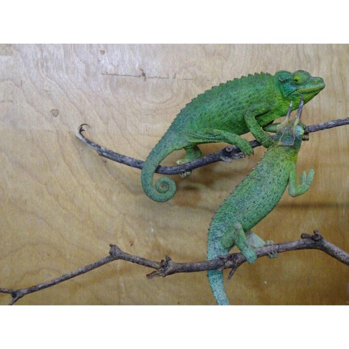 Jackson Chameleon pair