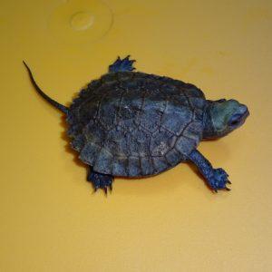 Japanese Pond Turtle baby