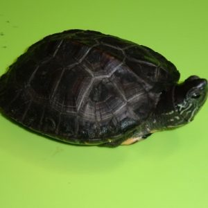 Kwang Tung River Turtle