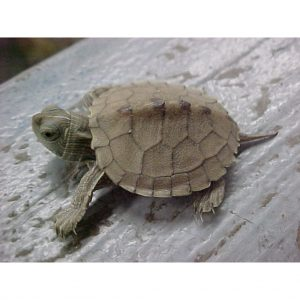 Map Turtle baby