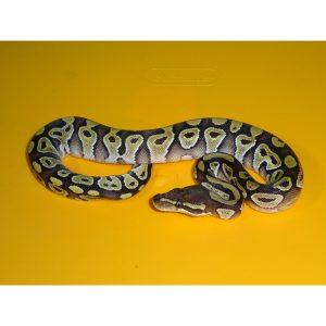 Mojave Ball Python baby male