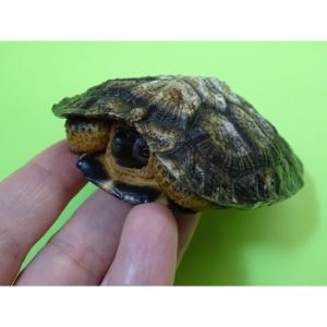 North American Wood Turtle 2 - 3 inch