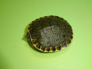 Nicaraguan Slider Turtle baby