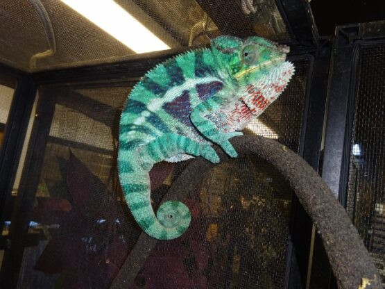 Panther Chameleon Ambanja adult male