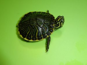 Peninsula Cooter Turtle baby