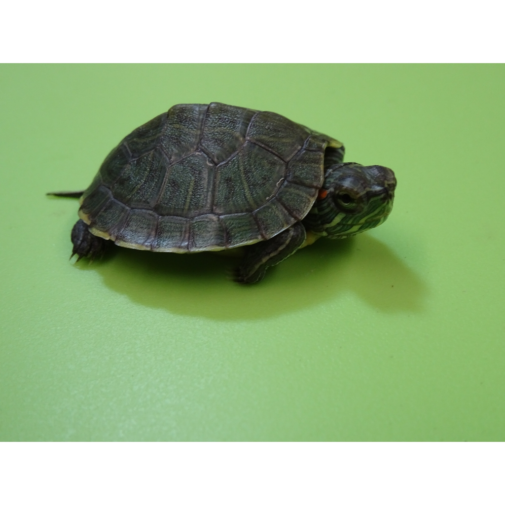 Red Ear Slider Baby Strictly Reptiles Inc,Bleeding Heart Flower Tattoo Meaning