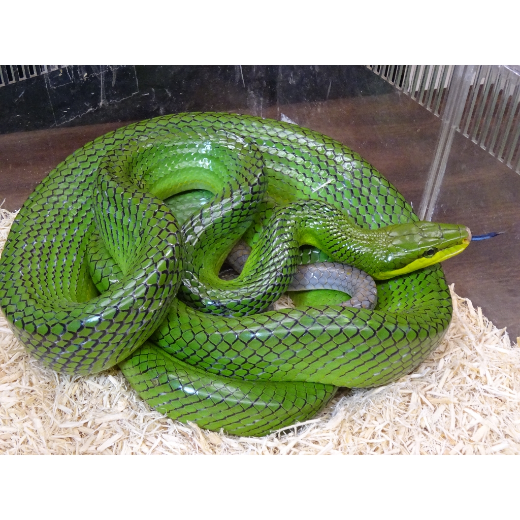 Différences Gonyosoma Redtail-Green-Rat-snake_000_lg