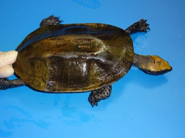 SA Twistneck Turtle