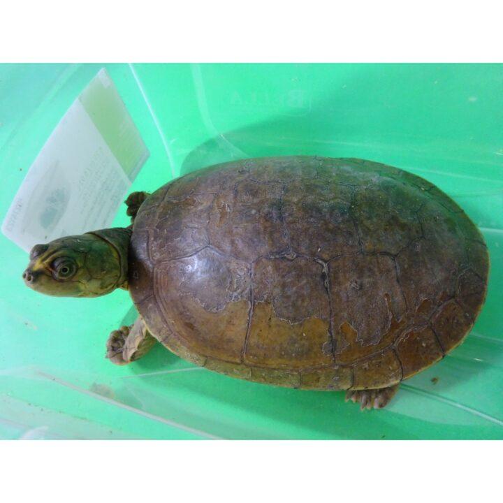 Savanna Side Neck Turtle