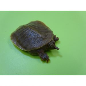 Spiny Softshell Turtle baby