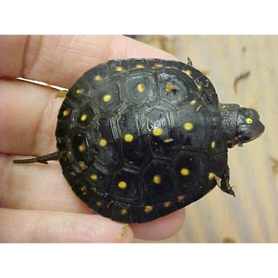 Spotted Turtle baby
