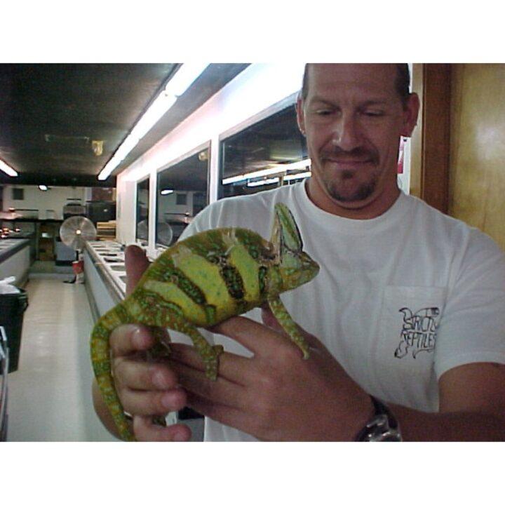Veiled Chameleon large