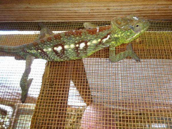 Verrocosus Chameleon