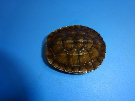 Vietnamese Pond Turtle baby