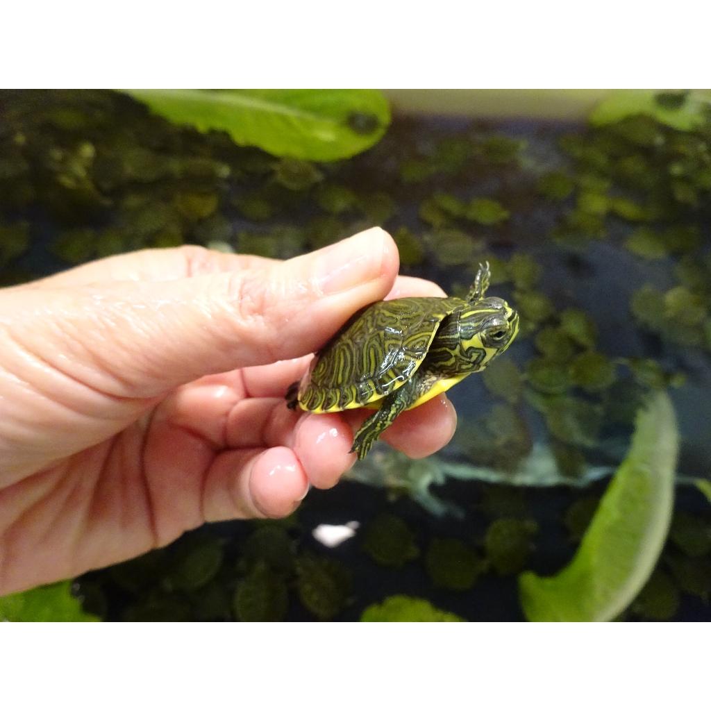 Yellow Bellied Slider Turtle baby