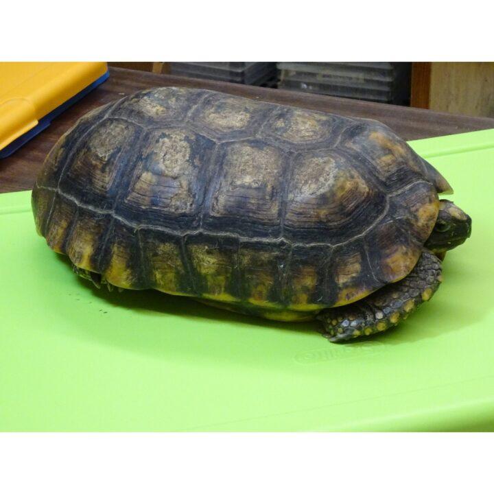 Yellow Foot Tortoises 12 - 13 inich