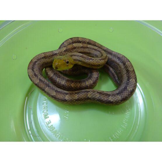 Yellow Rat Snake small