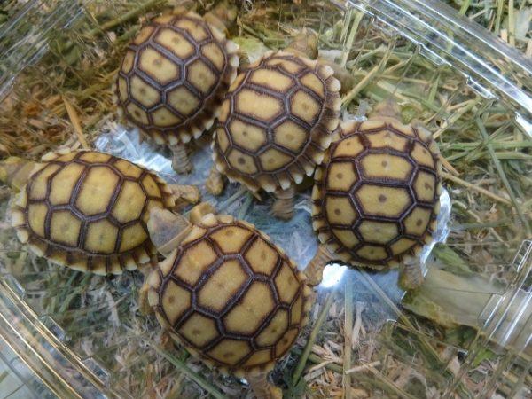 Sulcata Tortoise babies