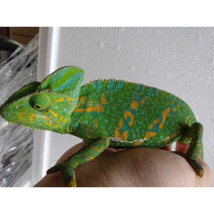 Veiled Chameleon medium