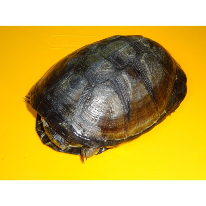 African Sideneck Turtle