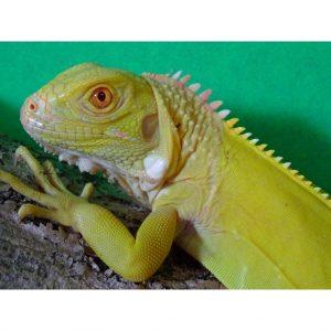 Iguanids