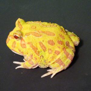 Albino Pacman Frog