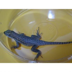 Bahama Curlytail Lizard
