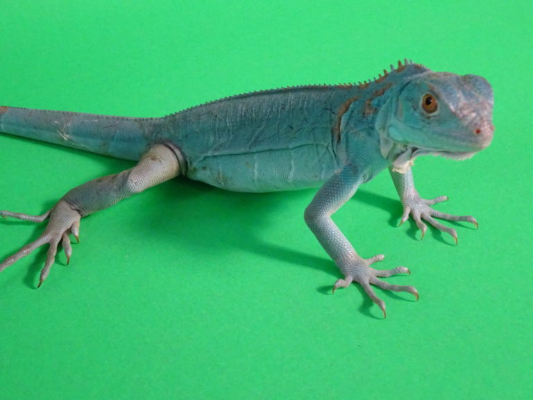 Blue Morph Green Iguana