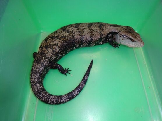 Blue Tongue Skink adult