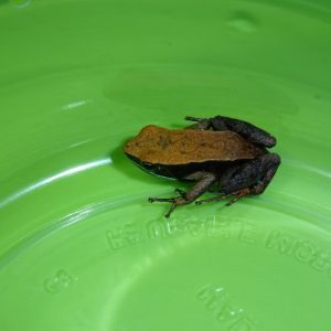 Brown Mantella